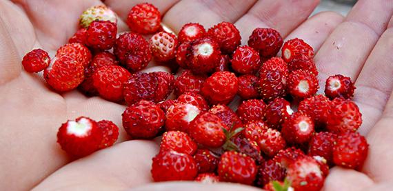 fragoline di bosco sfondi - photo #12